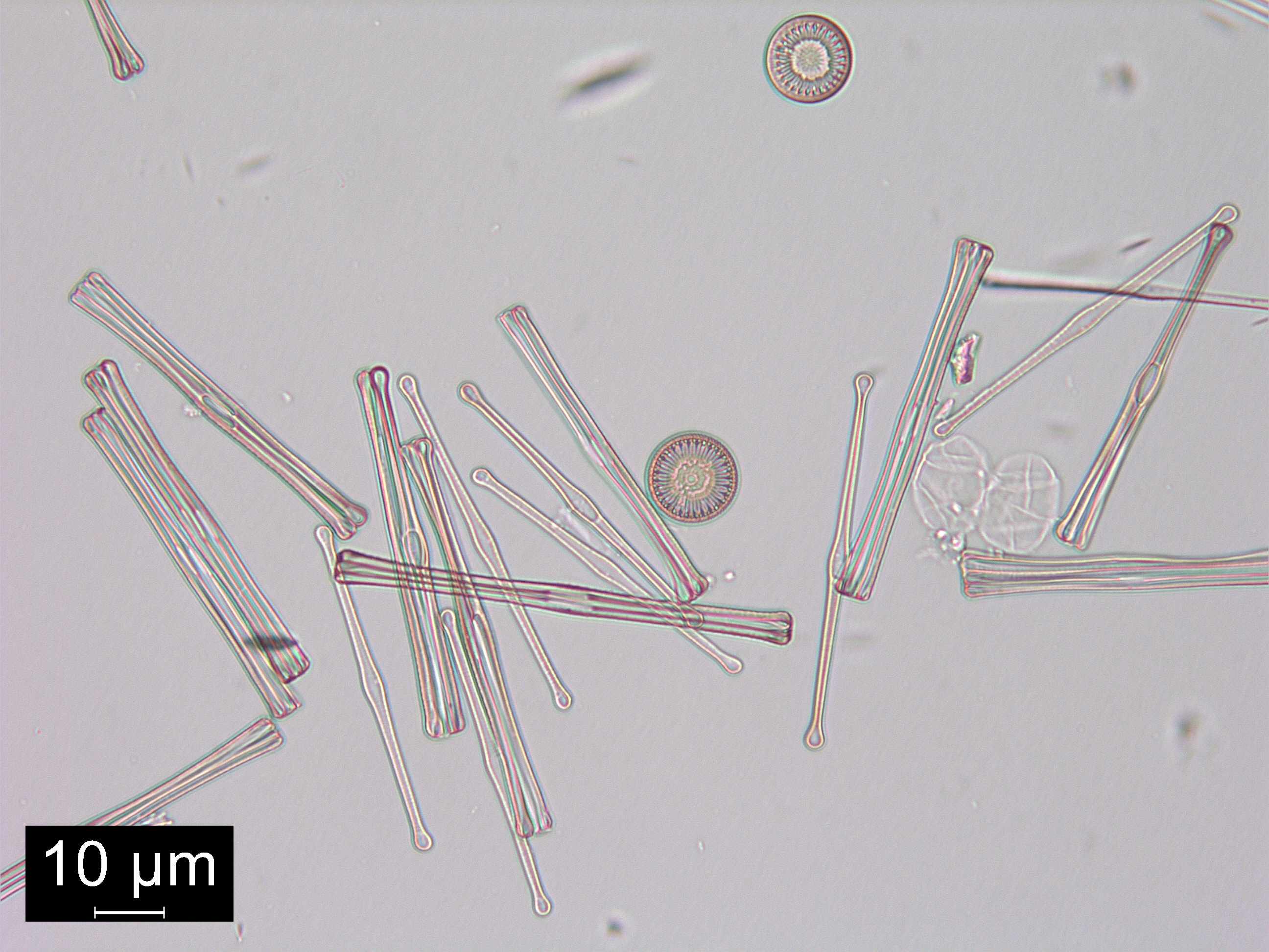 diatom diagram - photo #27