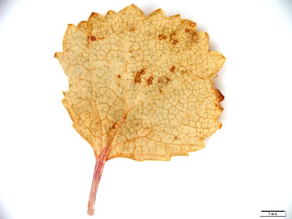 Betula_pumila_leaf_top_77_jm_edit-600.jpg