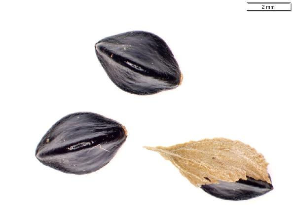 Polygonum_scandens_seed_2740_jm_edit-600.jpg