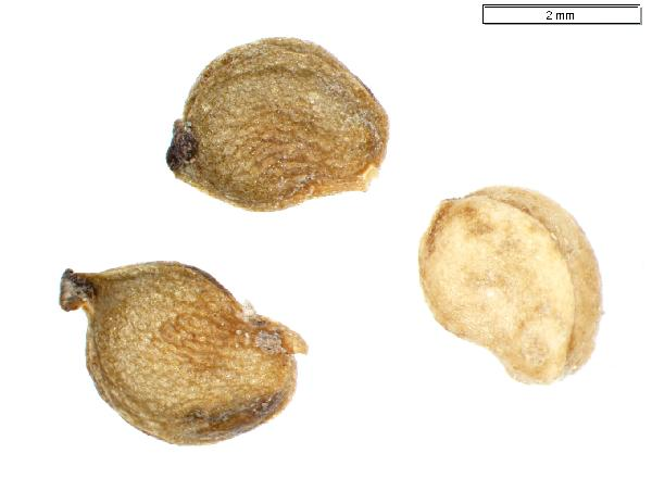 Potamogeton_richardsonii_seed_external_2024_jm_edit-600.jpg