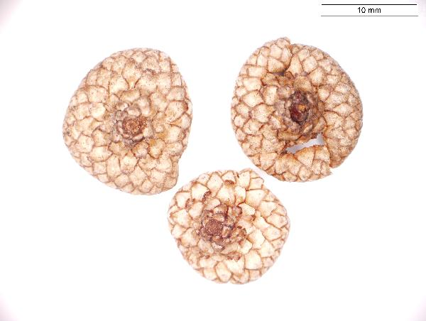 Quercus_palustris_seed_cap_975_jm_edit-600.jpg