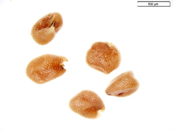 Rorippa_palustris_seed_2621_jm_edit_2-600.jpg